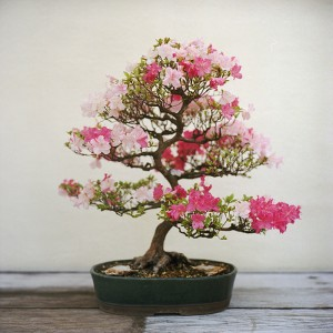 cherry blossom bonsai. Black Bedroom Furniture Sets. Home Design Ideas
